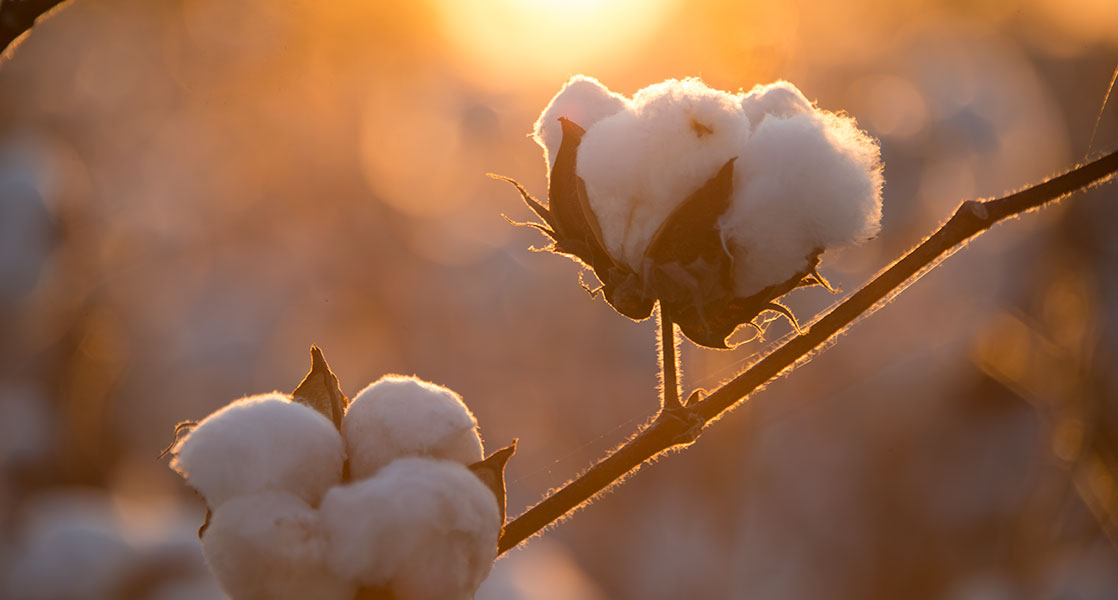 Cotton Crop Losses