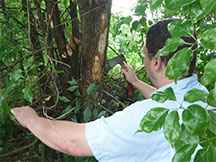 Invasive Beetle Threatens Avocados and Other Laurel Trees