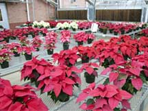 MSU research benefits poinsettia producers